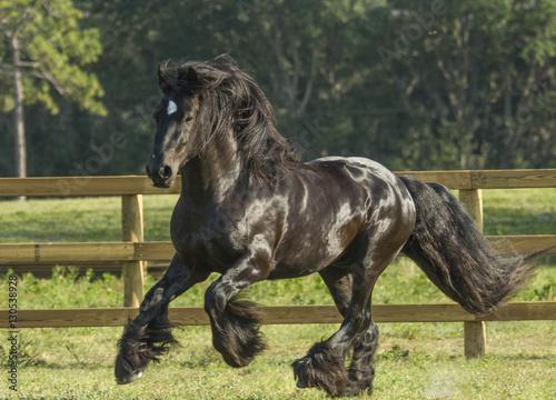 Photo  Gypsy Vanner horse stallion black