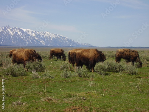 Aluminium Prints Buffalo at Grand Teton National Park