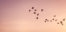 Flock Of Geese -  On Colorful Pink, Red, Violet Sunset Sky.
