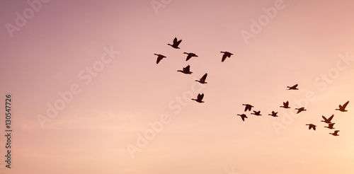 Photo  Flock of geese -  on colorful pink, red, violet sunset sky.