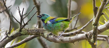 Green-headed Tanager On The Tree Branch