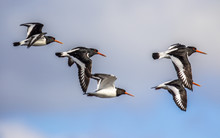 Flock Of Flying Oystercatcher