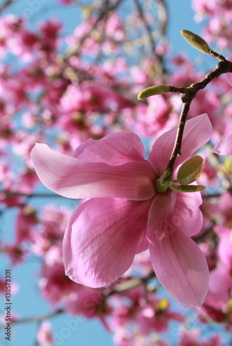 Magnolia tree in bloom vertical image Fototapet