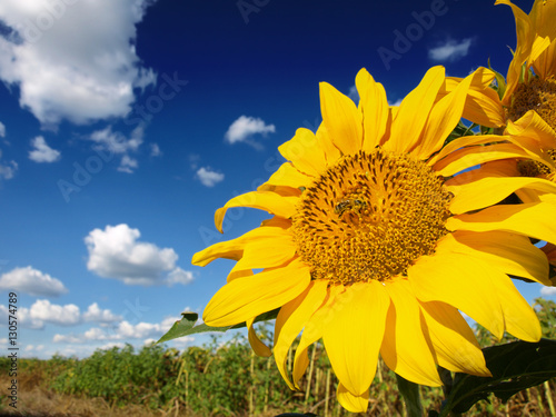 Beautiful sunflower Fototapet
