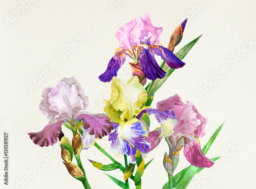 Kolorowe irysy. Kwiaty w akwarela