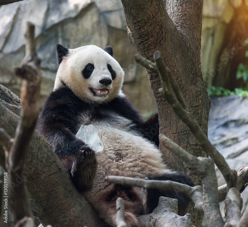 Foto op Canvas Eekhoorn Panda bear sitting in tree