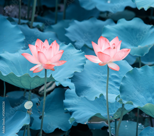 Foto op Canvas Lotusbloem blooming lotus flower