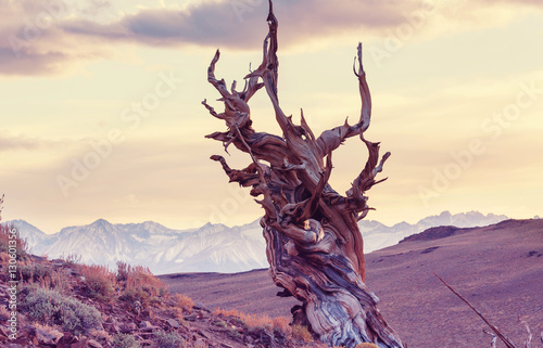 Obraz na plátně  Ancient tree