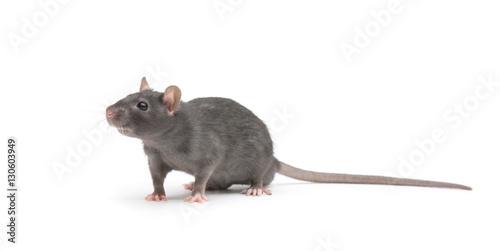 Fotografia rat isolated on white background