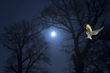 Barn Owl Hunting For Rodents A...