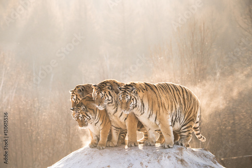 In de dag Tijger Tigers