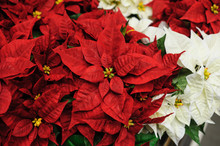 Red And White Flowers Christmas Star