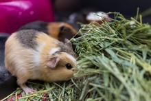 Closeup Of Calico Guinea Pigs ...