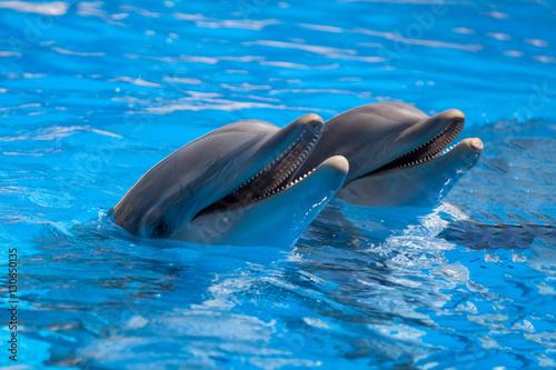 Plakat Śmieszne delfiny w basenie podczas pokazu w zoo