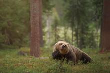 Big Brown Bear (ursus Arctos) ...