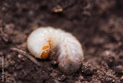 Käferlarve gekrümmt