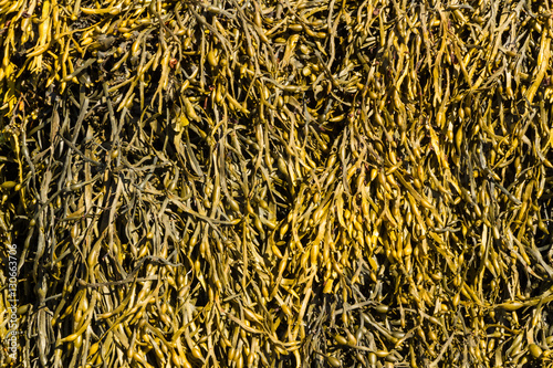 Closeup of seaweed Ascophyllum nodosum, commonly egg wrack. Canvas Print