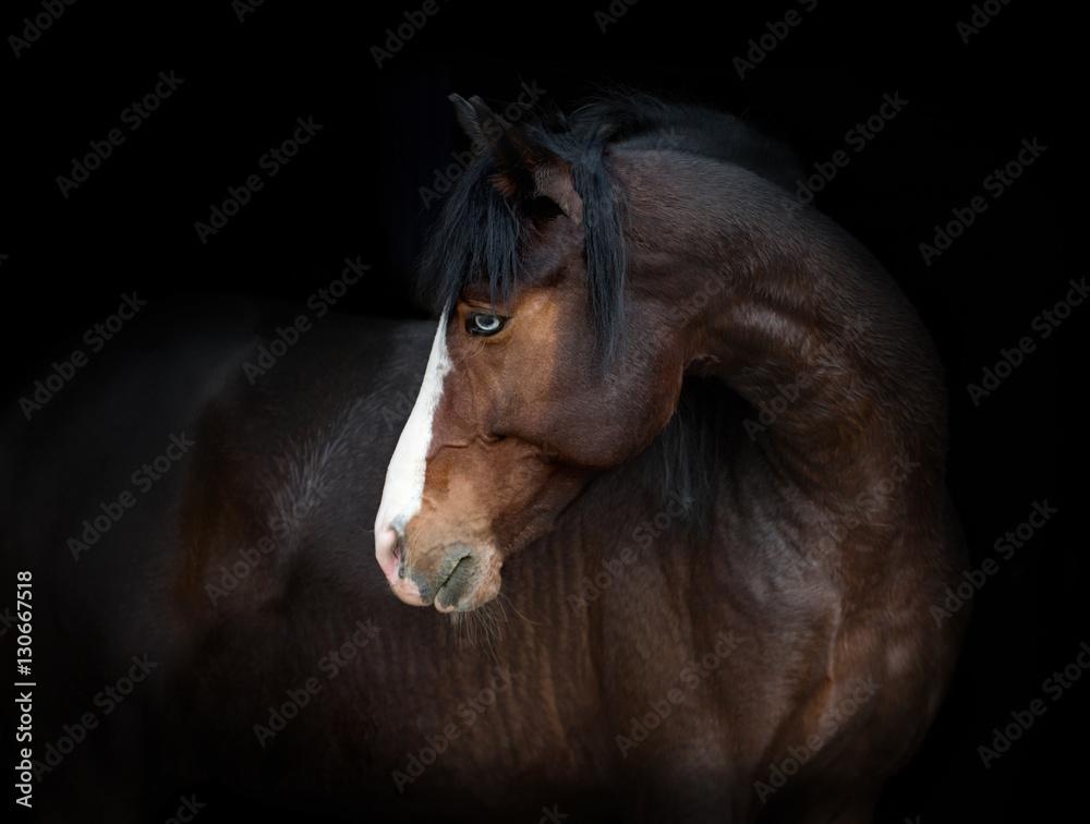 Portret zatoki koń z niebieskim okiem odizolowywającym na czarnym tle