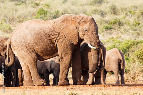 Mother elephant standing guard