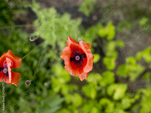 Close-up of red poppy flowers - 130677525