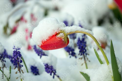 Frühlingsblumen im Schnee Plakat