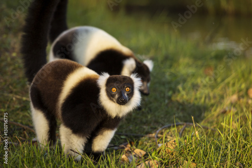 Fényképezés  Lemur in their natural habitat, Madagascar.
