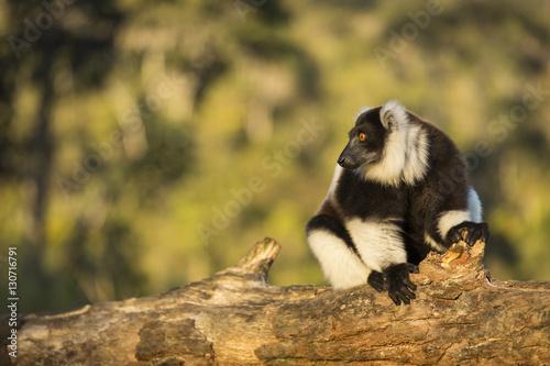 Vászonkép  Lemur in their natural habitat, Madagascar.