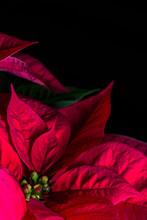Stella Di Natale - (Euphorbia Pulcherrima) - Poinsettia