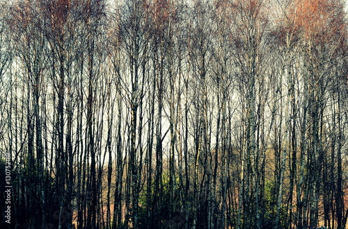 Lasek brzozowy - 130752188