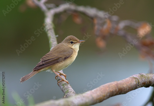 Marsh warbler perched on a dry branch Wallpaper Mural