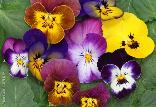 Papiers peints Pansies Fleurs de Viola cornuta