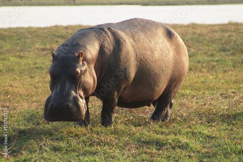 Fototapeta hippo is grazing on the riverside