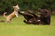 canvas print picture - Welpe spielt mit Labrador