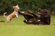 Welpe Spielt Mit Labrador