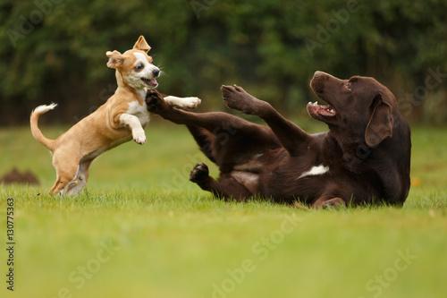 Welpe spielt mit Labrador - 130775363