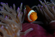 Clownfish close-up