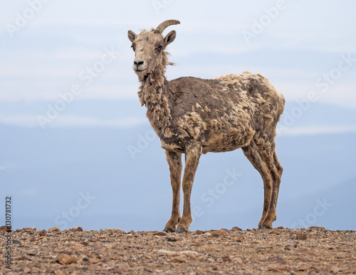 Ugly goat, Mount  Evans in Colorado