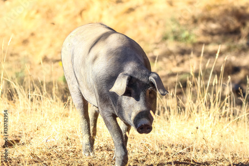 Foto  Iberian pig feeding  acorn in Huelva Mountains in Jabugo, Huelva