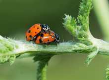 Convergent Lady Beetles Mating...