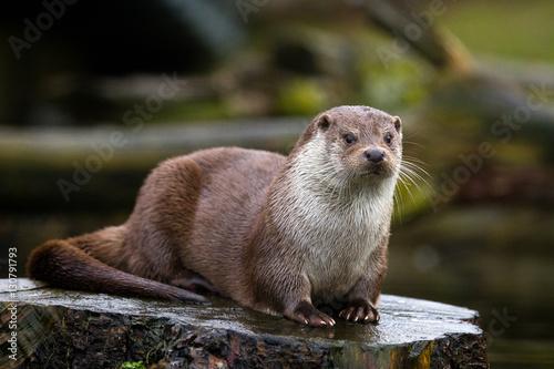 Fotografie, Obraz  Otter