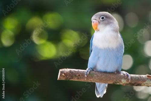 Blue lovebird standing on the tree in garden on blurred bokeh background