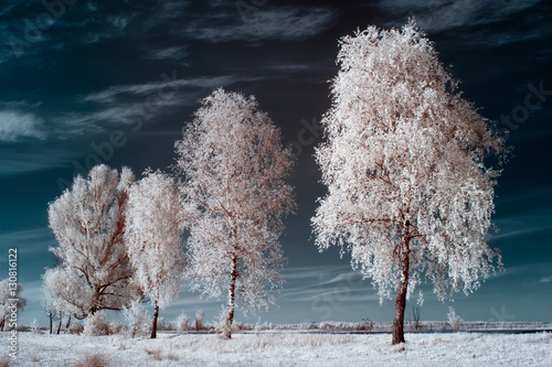 Fotografia  white birch
