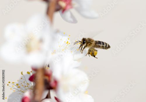 Aluminium Prints Bee bee in flight in nature