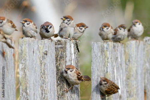 Fotografía Group of Tree Sparrows (Passer montanus) sitting on the fence.