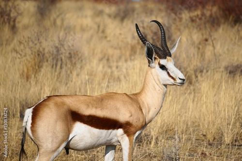 Foto op Plexiglas Antilope Springbock