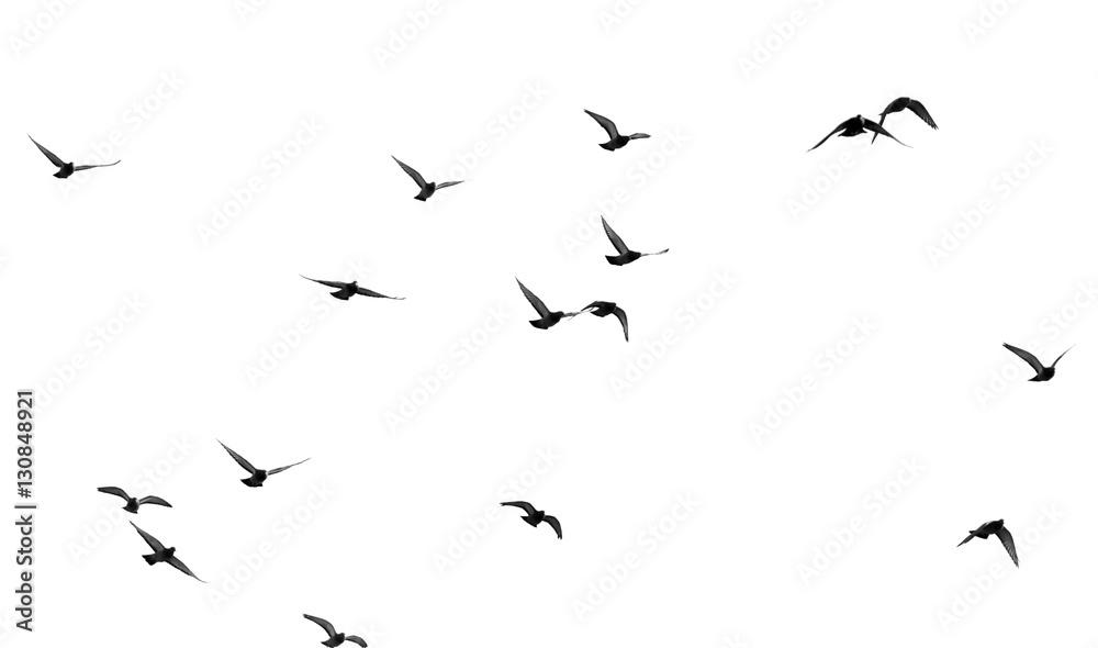 Fototapety, obrazy: flock of pigeons on a white background