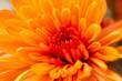 Leinwandbild Motiv orange flower as a background