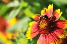 Honeybee On Gaillardia Pulchella Foug, Blanket Flower