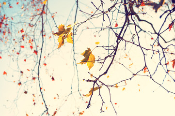 FototapetaYellow autumn leaves in a forest against the sky