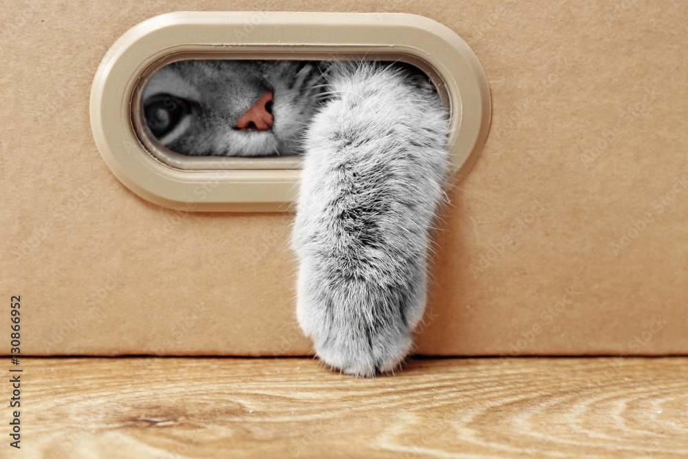 Fototapety, obrazy: Cute cat in cardboard box